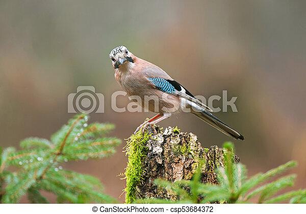 Eurasian jay on a tree stump - csp53684372