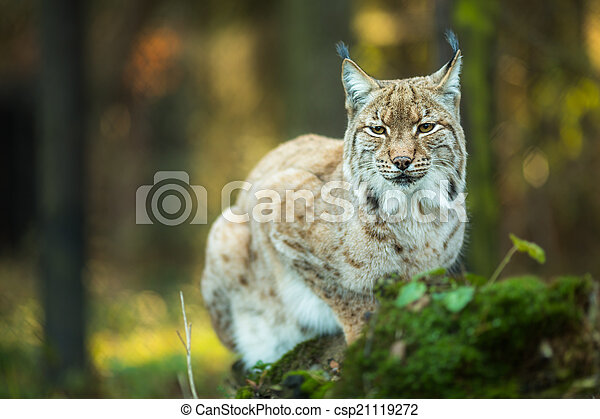 Eurasian Lynx (Lynx lynx) - csp21119272