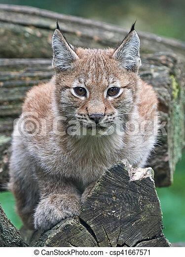 Eurasian lynx (Lynx lynx) - csp41667571