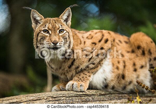Eurasian Lynx (Lynx lynx) - csp44539418