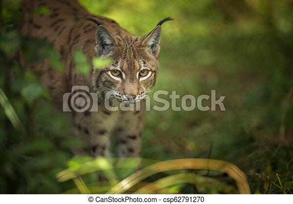 Eurasian Lynx (Lynx lynx) - csp62791270