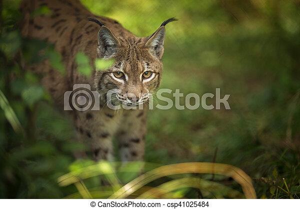 Eurasian Lynx (Lynx lynx) - csp41025484