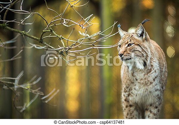 Eurasian Lynx (Lynx lynx) - csp64137481