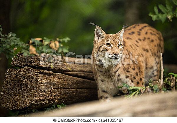 Eurasian Lynx (Lynx lynx) - csp41025467