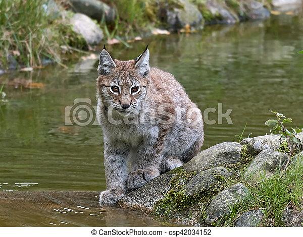 Eurasian lynx (Lynx lynx) - csp42034152