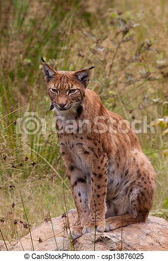 Eurasian lynx (Lynx lynx) - csp13876025