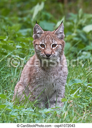 Eurasian lynx (Lynx lynx) - csp41072043