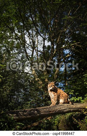 Eurasian Lynx (Lynx lynx) - csp41998447