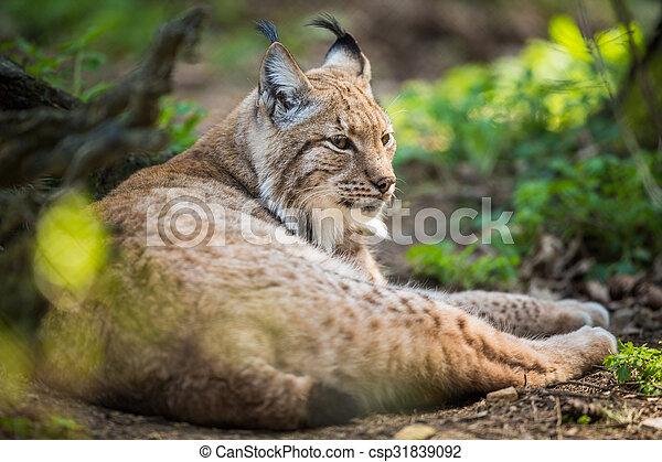 Eurasian Lynx (Lynx lynx) - csp31839092