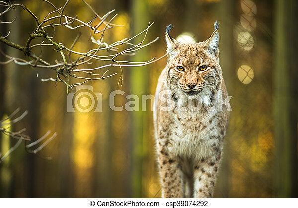 Eurasian Lynx (Lynx lynx) - csp39074292