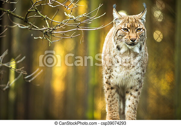 Eurasian Lynx (Lynx lynx) - csp39074293
