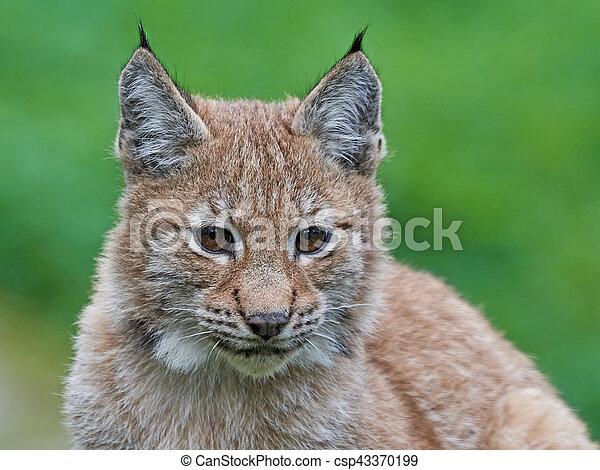 Eurasian lynx (Lynx lynx) - csp43370199