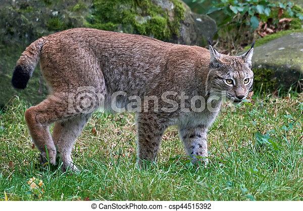 Eurasian lynx (Lynx lynx) - csp44515392