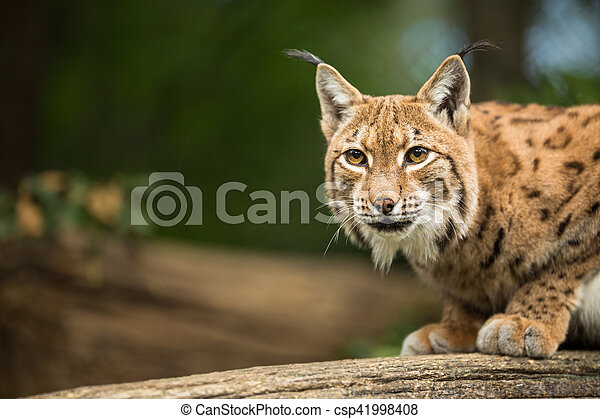 Eurasian Lynx (Lynx lynx) - csp41998408