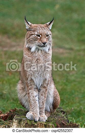 Eurasian lynx (Lynx lynx) - csp42552307