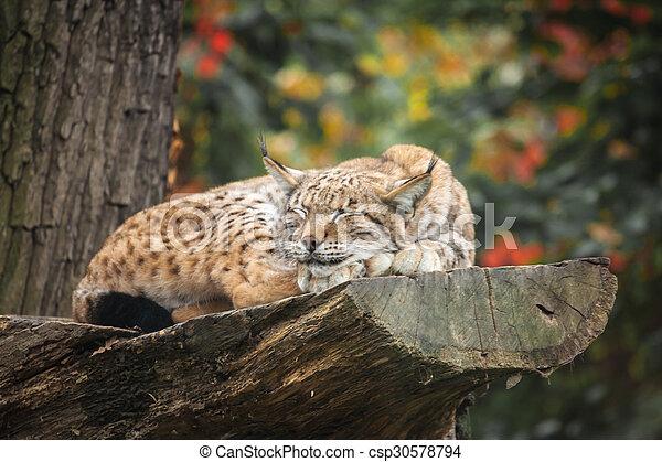 Eurasian lynx sleeping on a tree - csp30578794