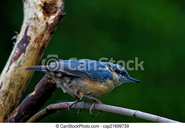 Eurasian Nuthatch sitting on a branch - csp21699739