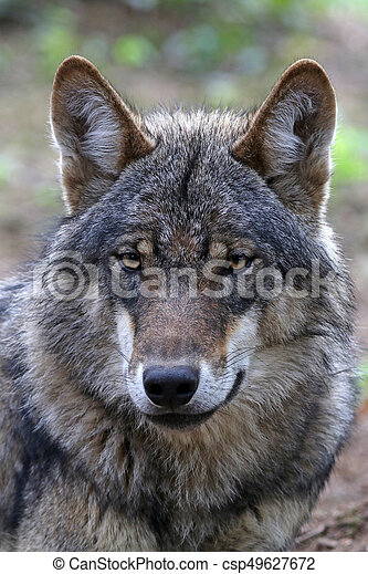 Eurasian wolf - csp49627672
