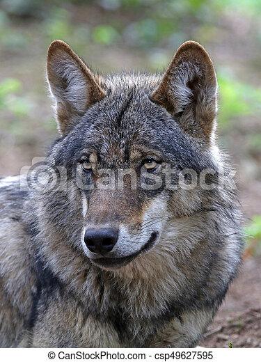 Eurasian wolf - csp49627595