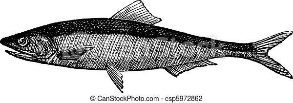 European anchovy or engraulis encrasicholus old vintage engraving. - csp5972862