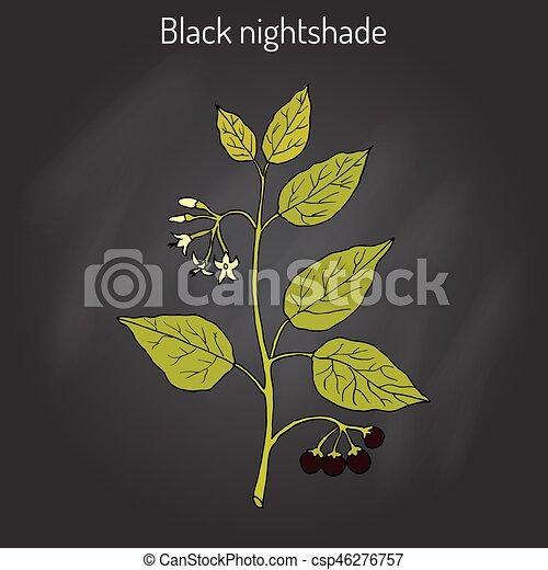European black nightshade Solanum nigrum or duscle, garden huckleberry, petty morel, wonder berry, popolo - csp46276757