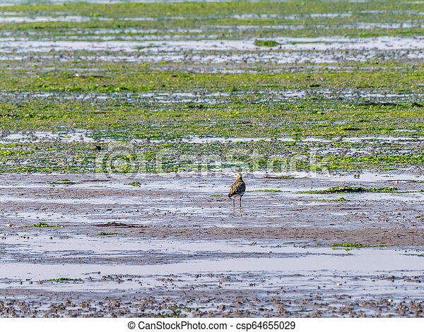 European golden plover, Pluvialis apricaria, on wetland at low tide of Waddensea, Netherlands - csp64655029