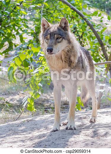 European gray wolf (Canis lupus) - csp29059314