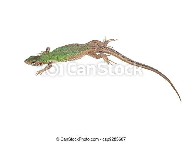 European Green Lizard isolated  - csp9285607