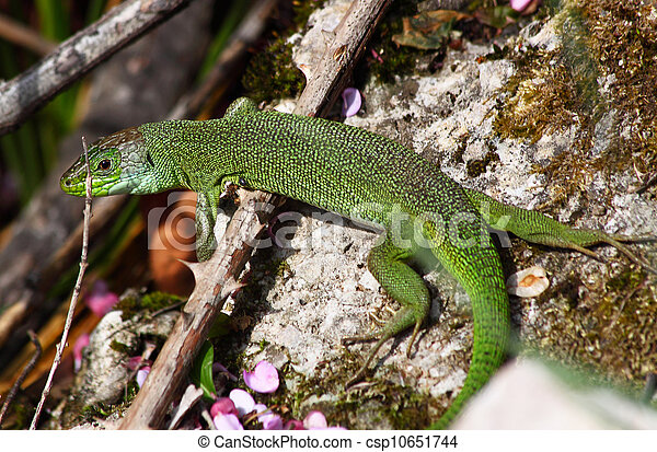European green lizard (Lacerta viridis) - csp10651744