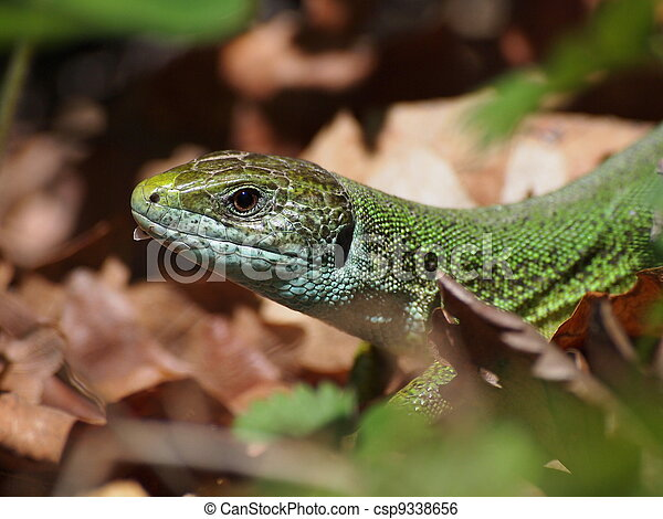 European Green Lizard - csp9338656