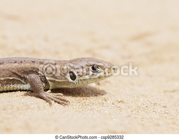 European Green Lizard - csp9285332