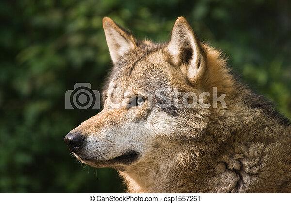 European grey wolf - csp1557261