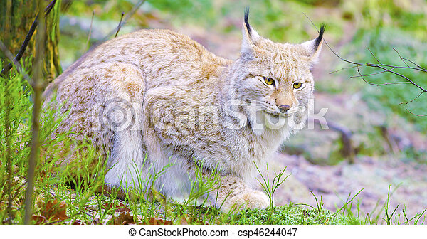 European lynx cat lies in the forest at early winter - csp46244047