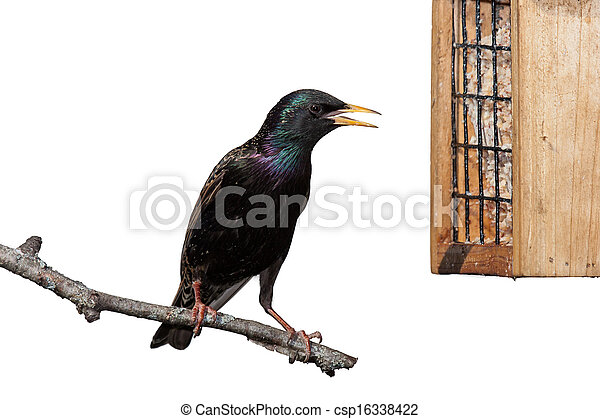 European Starling - csp16338422