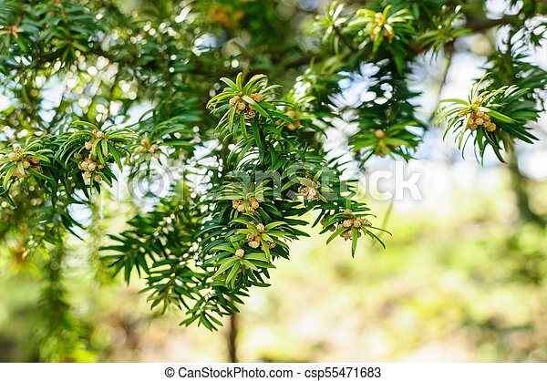 european yew taxus baccata is a conifer native to western central
