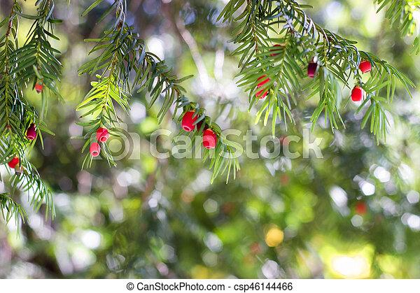 european yew taxus baccata tree