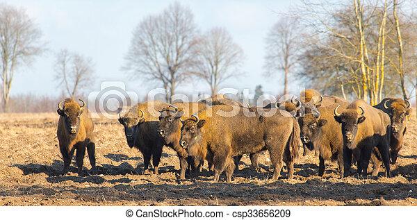europeu, bisonte, inverno, hurd - csp33656209