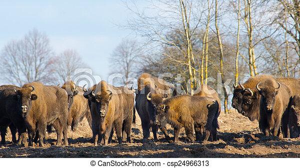 europeu, bisonte, inverno, hurd - csp24966313