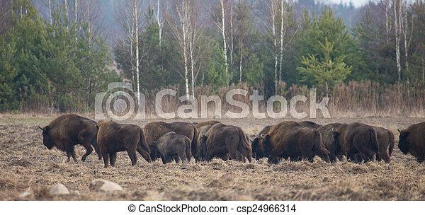 europeu, bisonte, inverno, hurd - csp24966314