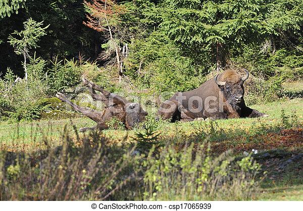 europeu, bisonte, rebanho - csp17065939
