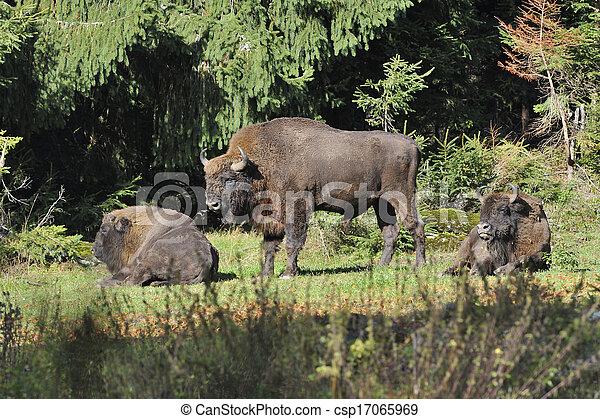 europeu, bisonte, rebanho - csp17065969