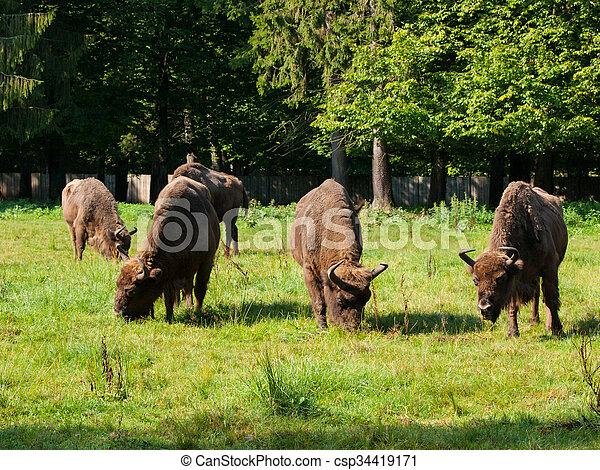 europeu, bisonte, rebanho - csp34419171