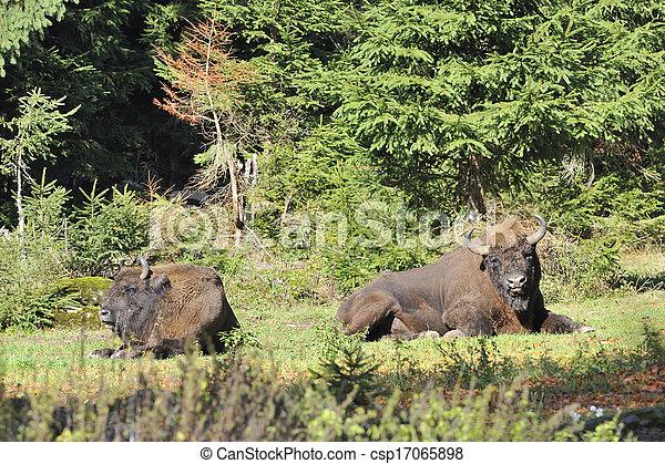 europeu, bisonte, rebanho - csp17065898