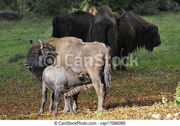 europeu, bisonte, rebanho - csp17066080