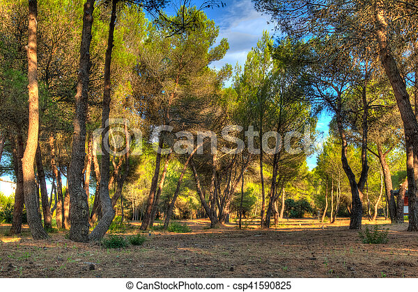 Evening sun in the pine forest - csp41590825