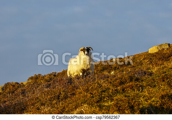 Evening sunshine on a lone horned sheep, standing in a field of heather on the side of a hill, looking straight at the viewer, with a blue sky - csp79562367
