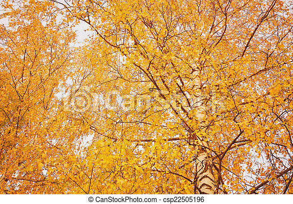 Evening view of the autumn birch trees. - csp22505196