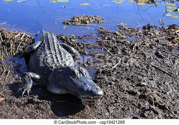Everglades Alligator - csp19421268