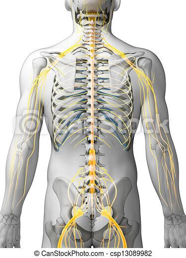 evidenziato, nervo, sistema - csp13089982