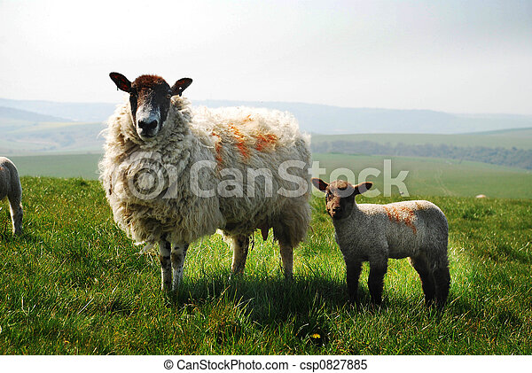 ewe and lamb - csp0827885